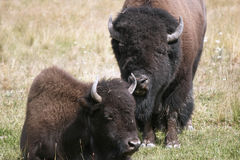 American Bison. In Yellowstone National Park Royalty Free Stock Image