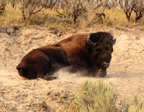 American Bison Royalty Free Stock Photos