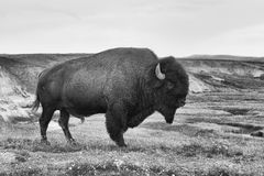 American Bison in the Yellowstone National Park Royalty Free Stock Photo