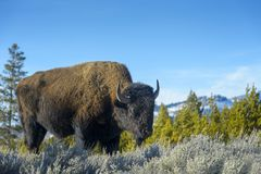 American Bison  in wintertime Stock Photos