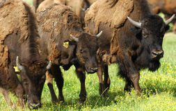 American Bisons Stock Photo