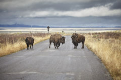American bisons crossing road. Stock Photo