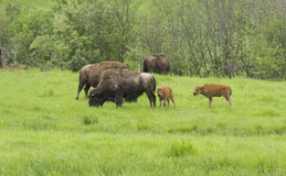 American bisons Royalty Free Stock Photos