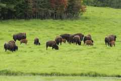 American bisons Stock Photography