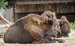 American bisons resting Stock Photo