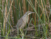 American Bittern Royalty Free Stock Photos