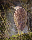 American Bittern Stock Photo