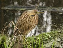 American Bittern. An American bittern (botaurus lentiginosus) found in its native habitat of a marsh stock images