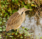American Bittern. (Botaurus lentiginosus). Shot at Brazos Bend State Park near Houston, Texas.  Made by stitching together several frames producing a larger Royalty Free Stock Images