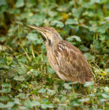 American Bittern Stock Photos