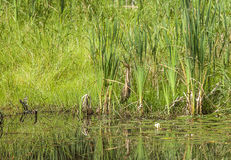American Bittern Camouflaged In Pond Reeds Stock Photography