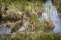 American Bittern Royalty Free Stock Image