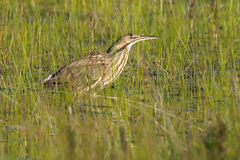 American Bittern Stock Images