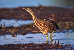 American Bittern in a low crouch moves slowly around the pond edge royalty free stock photography