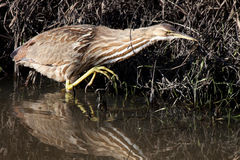 American Bittern. Slowly stalks its prey showing off its long toe nails Stock Photos
