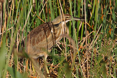 American Bittern Stalking its Prey in a Florida Marsh. American Bittern (Botaurus lentiginosus) Stalking its Prey in a Florida Marsh Royalty Free Stock Images