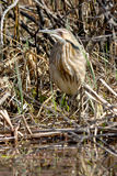 American Bittern Royalty Free Stock Images