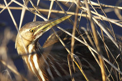 American Bittern. An American Bittern at sunset blends in perfectly Stock Photos