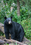 American Black Bear Stock Image