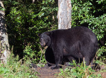 American Black Bear Royalty Free Stock Photos