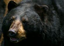 American Black Bear. Closeup of an American Black Bear Royalty Free Stock Image
