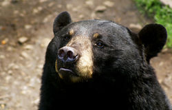 Free American Black Bear Royalty Free Stock Image - 7435286