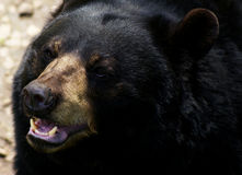 American Black Bear. An American Black Bear (Ursus americanus Royalty Free Stock Images
