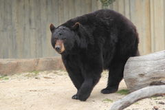 American black bear Royalty Free Stock Photo