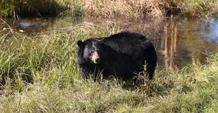 American black bear Stock Images
