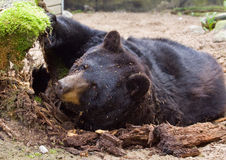American black bear or baribal Royalty Free Stock Images