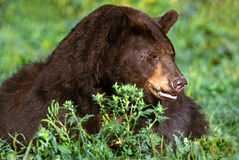 American Black Bear;Cinnamon (Ursus americanus) Stock Photography
