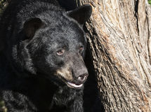 American black bear Stock Photo