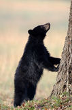 American black bear cub Stock Photos