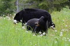 American black bear cub with adult eating dandelions Stock Photos