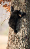 American black bear cub Royalty Free Stock Images