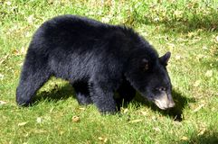 American Black Bear Cub Searching. Young black bear ( Ursus americanus) about 9 months old  is sniffing ground following mother's trail after mother moved out of Stock Images