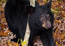 American black bear cub, seen along Skyline Drive in Shenandoah Royalty Free Stock Photography