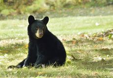 American Black Bear Cub Sitting. Young black bear ( Ursus americanus) about 9 months old in early fall Royalty Free Stock Photos