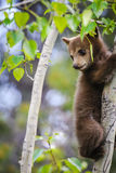 American Black Bear and Cub (Ursus americanus) Royalty Free Stock Image