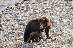 American Black Bear and Cub (Ursus americanus) Royalty Free Stock Photography