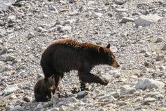 American Black Bear and Cub (Ursus americanus) Royalty Free Stock Photography
