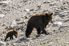American Black Bear and Cub (Ursus americanus) Stock Images