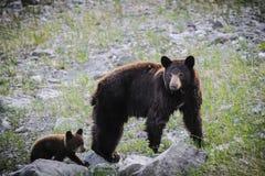 American Black Bear and Cub (Ursus americanus) Royalty Free Stock Images