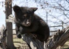 American black bear cub Stock Photo