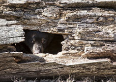 American black bear cub Stock Images