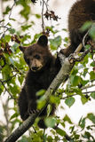 American Black Bear Cubs (Ursus americanus) Stock Photo