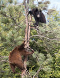 American black bear cubs Stock Images