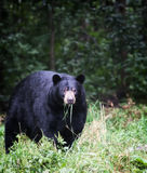 American Black Bear Stock Photography