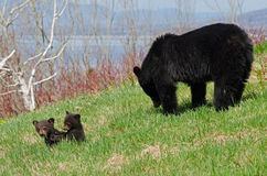 American black bear family. A family of three American black bears eating and playing in a grassland in Parc National de Forillon (Quebec, Canada) in May of 2015 Royalty Free Stock Photography