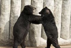 American Black Bear Fighting Stock Photo